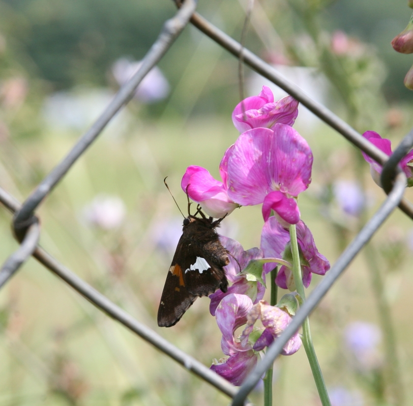 butterfly_link_3422
