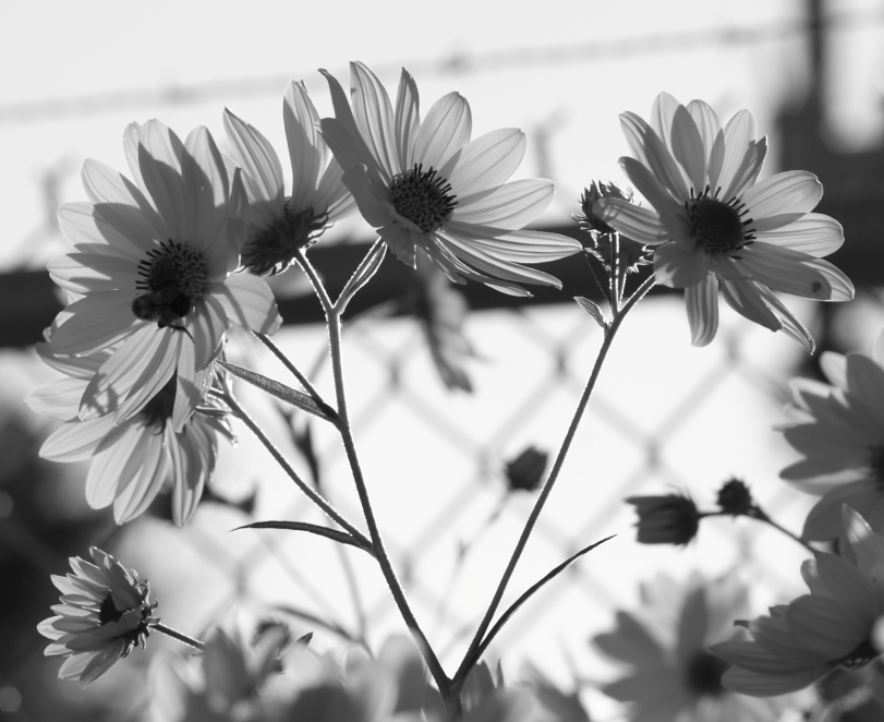 Black-and-white flowers do have their charm.