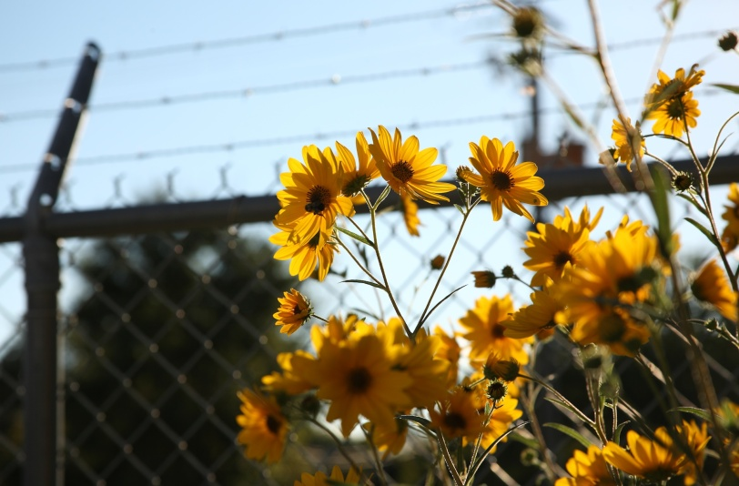 Daisies and barbed wire.