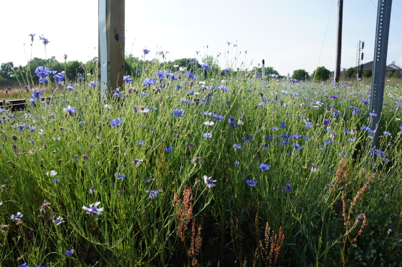 Wildflowers by the tracks.