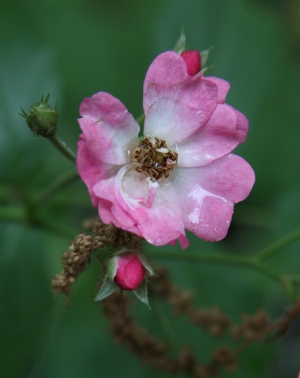 little rose beaten down by rain