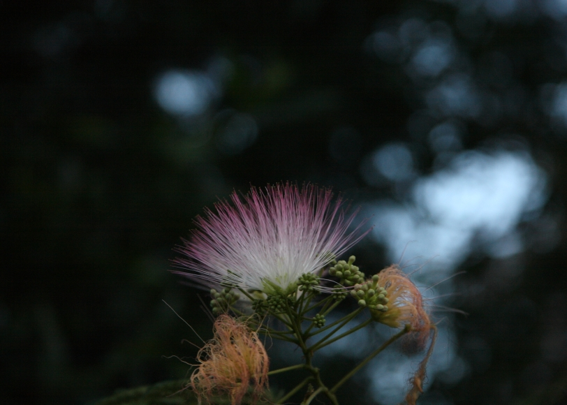 mimosa flower in the evening