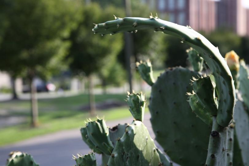 cactus paddle shade