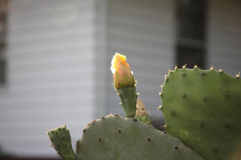 sunlit cactus flower