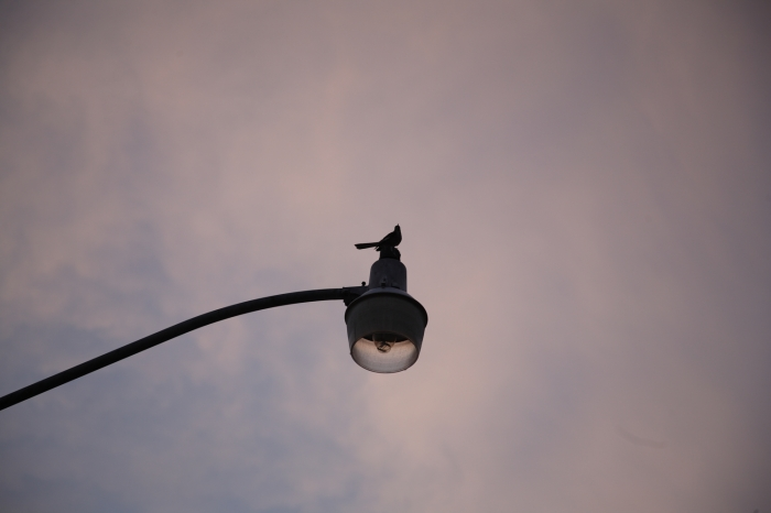 closer shot of bird on streetlight