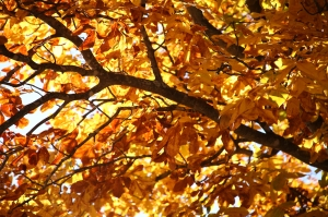 tree with golden-brown fall leaves