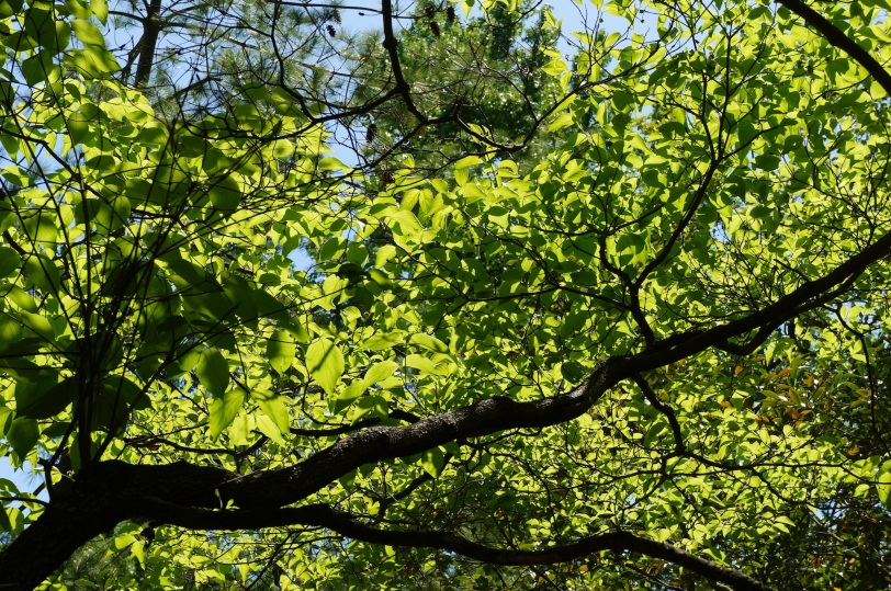 sun shining through dogwood leaves