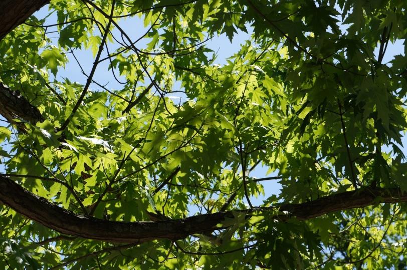 sun shining through maple leaves