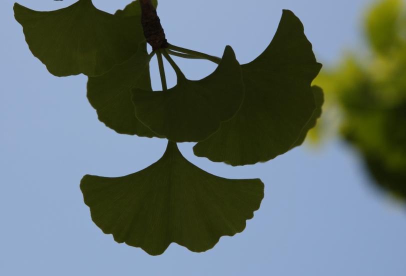 gingko biloba leaves - close