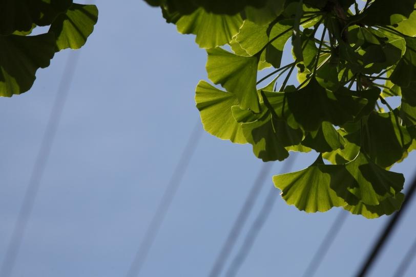 gingko biloba leaves